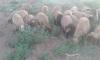 Kurbanlık küçük baş koyun satışları başladı