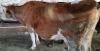Kurbanlık simental inek 520 kg