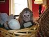 Mám dvě kapucínské opice, které chceme dát do krásného domov