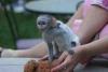 Mám jednu samici kapucínské opice připravenou na dobrý a mil