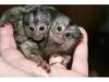 Marmoset maymunları5