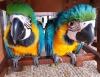 Mavi ve altın amerika papağanı