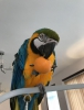 Mavi ve altın macaws