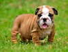 Mevcut bulldog puppies - 400tl