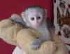 Mikro-yontulmuş kayıtlı capuchin maymun