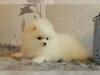 Muhteşem beyaz pomeranian yavru