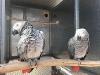 Papağanlar / devekuşu ve% 100 verimli yumurta attı