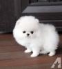 Pomeranian yavruları mevcut ücretsiz