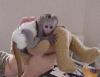 Roztomilá a krásná kapucínská opice k adopci