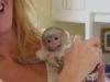 Roztomilé kapucínské opice zdarma k adopci