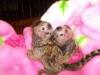 Ručně zvednuté kosmanské opice dostupné nyní pro dobré domov