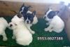 Saf ırk garantili fransız bulldog bebeklerimiz izmir