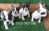 Safkan ırk fransız  bulldog  erkek  ve dişi yavrular izmir