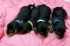 Safkan yorkshire terrier yavruları