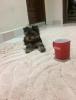 Sahibinden 0 beden yorkshire terrier yavrusu