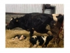 Sahibinden acil satılık hoştehin süt inekleri