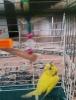 Sarı muhabbet kuşu..gel...al..