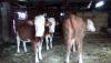 Satılık 3 adet inek