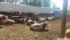 Satılık 6 ay üzeri gebe simental et ve süt cinsi düveler