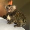 Satılık akıllı bebek marmoset maymunları