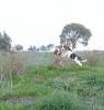 Satılık beagle yavru köpekler