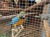 Satılık büyük mavi ve altın amerika papağanı.