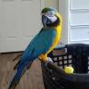 Satılık dna testli macaws