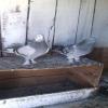 satılık eski soy oyunlu kuşlar