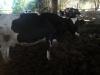 Satılık inek ve buzağılar