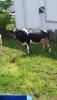 Satılık inek ve düve