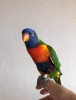 Satılık kafesli scarlet macaw satılık güzel kızıl papağan ve