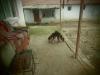 Satılık ormancı domuz av köpekleri