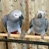 Satılık mevcut bebek papağanları