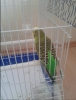 Satilik muhabbet kuşu