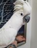 Satılık muhteşem el destekli bebek galah cockatoos