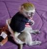 Satılık şirin şişe besleme ikizler bebek capuchin maymun