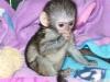 Satılık şirin şişe besleme ikizler bebek capuchin maymun   =
