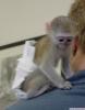 Satılık şirin şişe besleme ikizler bebek capuchin maymun   e