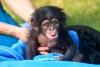 Satılık şirin ve sevimli bebek şempanze maymun
