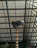 İstanbul da  satılık veya takaslı papağanlar