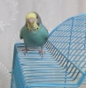 Satılık yavru muhabbet kuşu mavi
