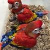Scarlet macaw bebekleri!