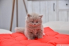 Scottish fold , scottish straight ücretli sahiplendirme