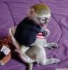 Sevimli bebek kız capuchin maymun