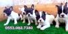 Sevimli french bulldog bebekler izmir
