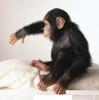 Sevimli kadın bebek şempanzesi sadece iyi çocuklar için