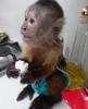 Sevimli küçük erkek ve dişi capuchin