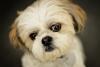 Sevimli minik terrier yavruları
