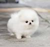 Sevimli ve tatlı pomeranian köpek yavrusu