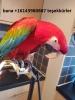 Şimdi mavi ve altın amerika papağanı